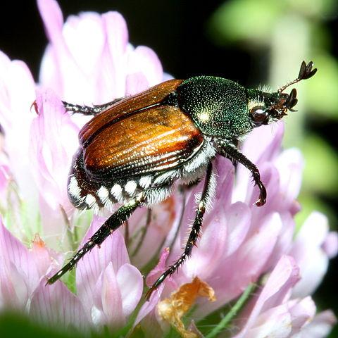 480px-Popillia_japonica