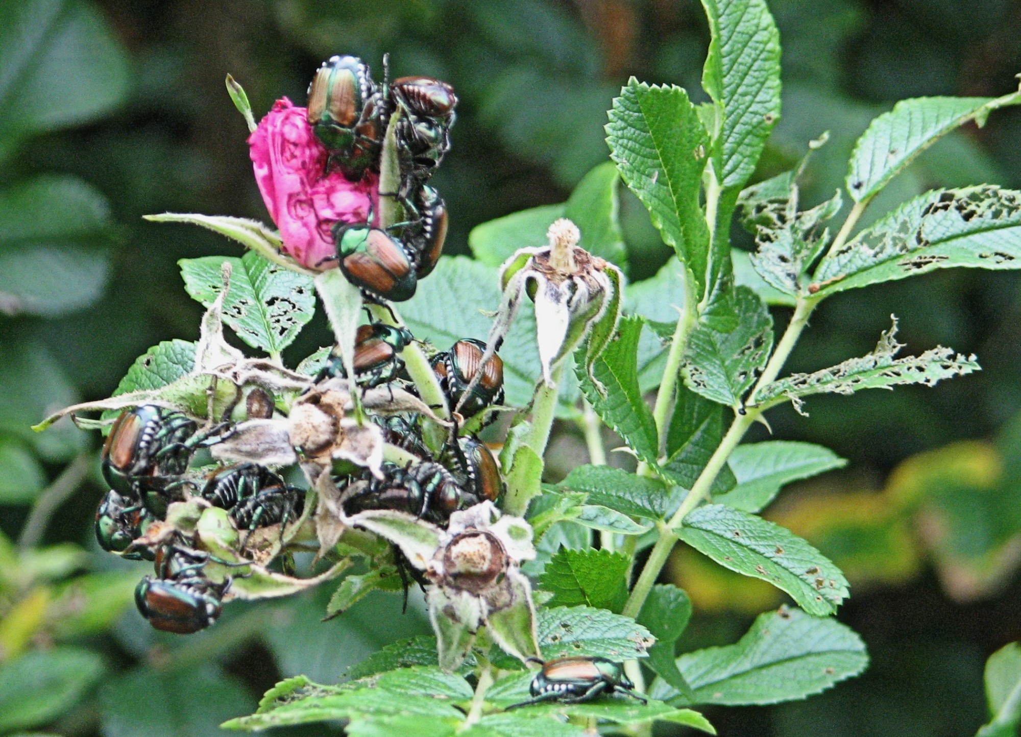 Japanese_Beetles_on_Pasture_Rose,_Ottawa